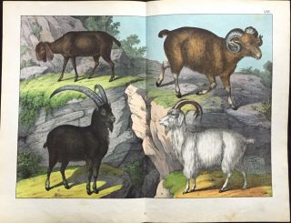Ram / Goat / Sheep. Print, SCHUBERT