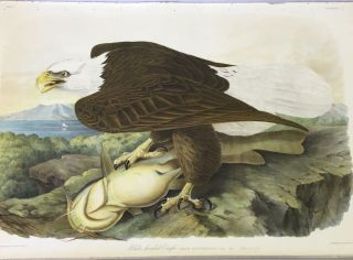 WHITE HEADED EAGLE ; Falco Leucocephalus (Linn.) Male Yellow Cat-fish. John James Audubon