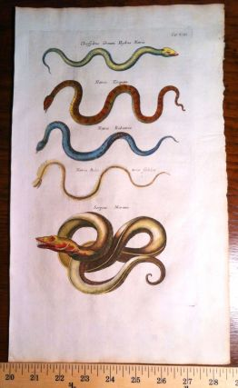 Sea Serpent Natrix Snakes. Print, MERIAN, JOHNSTON